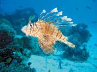 Zebra-striped Indo-Pacific lionfish